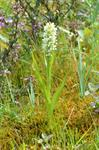 Pale Early Marsh Orchid (Dactylorhiza incarnata var. ochroleuca)